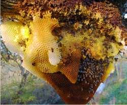 La cire d 39 abeille les bougies la cire d 39 abeille du for Cire d abeille meuble